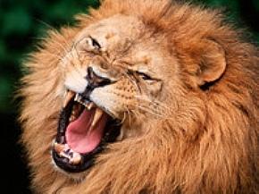 В Японии лев покусал двоих сотрудников компании, выращивающей животных для съемок