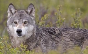 Уникальные кадры из Канады: схватка волка с лосихой на мелководье