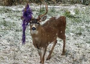 В окрестностях Ванкувера бродит олень с гамаком на рогах