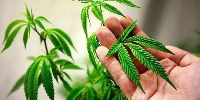 В ООН раскритиковали Канаду за легализацию марихуаны