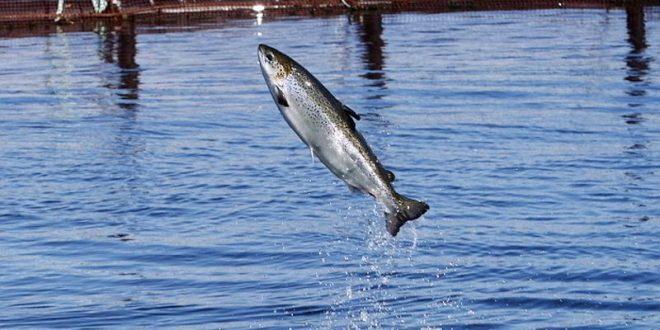 Около 1000 лососей уплыли с фермы на границе с США