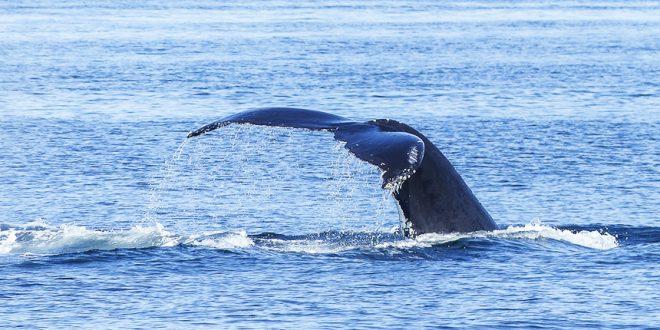По центру Монреаля плавает… кит!