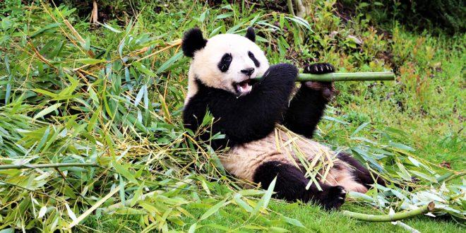 Канадские панды никак не могут вернуться в Китай