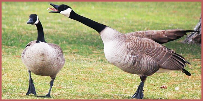 Гуси, кыш! Как Монреаль намерен бороться с гадящими птицами
